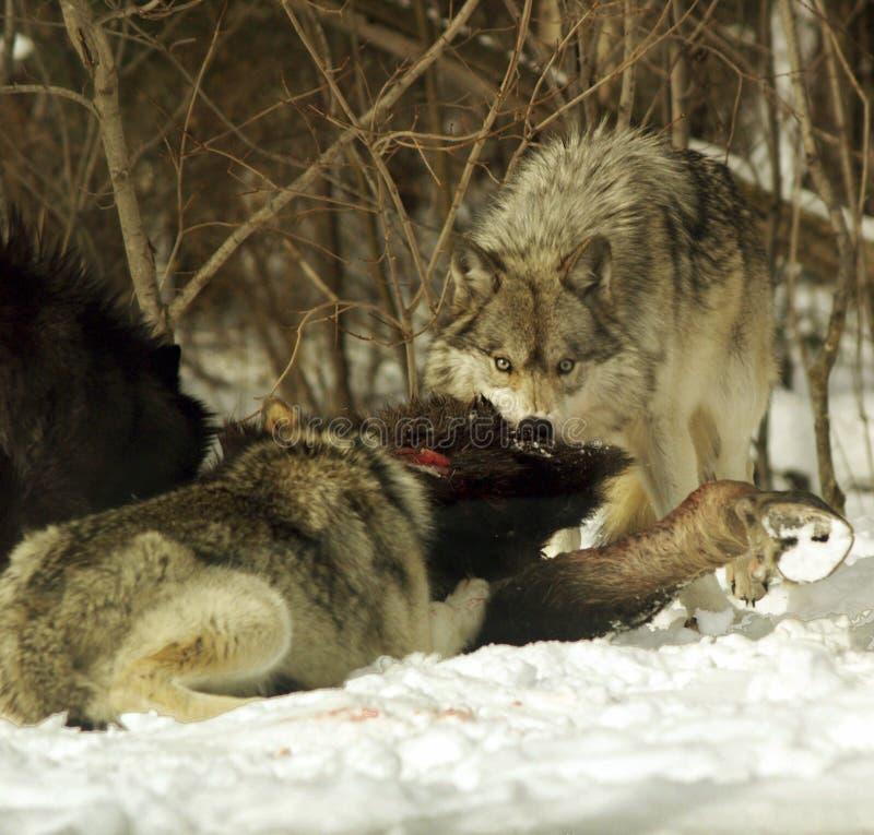 ταΐζοντας λύκοι στοκ φωτογραφία με δικαίωμα ελεύθερης χρήσης