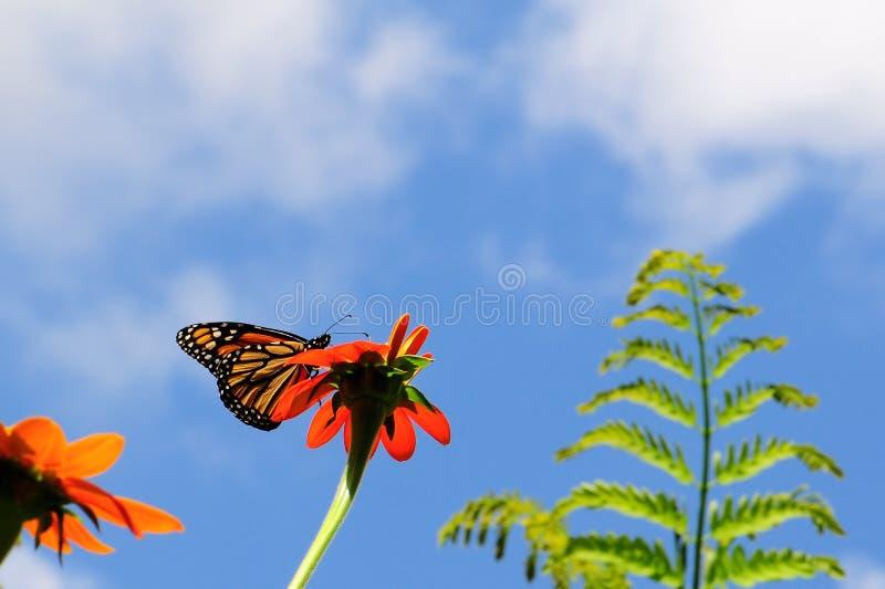 ταΐζοντας μονάρχης πεταλούδων στοκ εικόνες