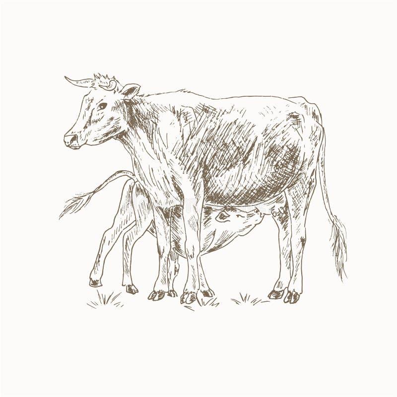 Ταΐζοντας μόσχος αγελάδων απεικόνιση αποθεμάτων