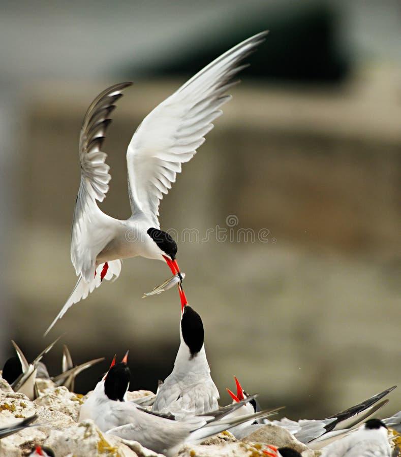 Ταΐζοντας νεοσσοί πουλιών στη φωλιά στοκ φωτογραφίες με δικαίωμα ελεύθερης χρήσης