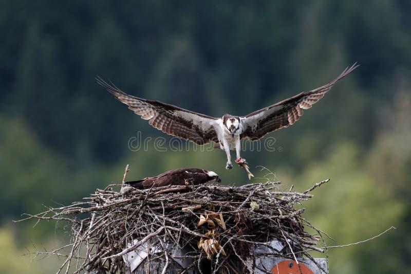 Ταΐζοντας νεοσσός Osprey στη φωλιά στοκ εικόνα