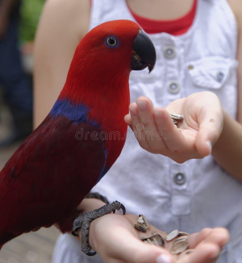 Ταΐζοντας παπαγάλος κοριτσιών στοκ φωτογραφίες με δικαίωμα ελεύθερης χρήσης