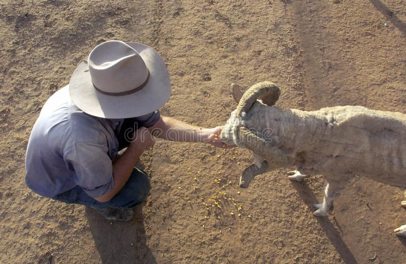Ταΐζοντας πρόβατα χεριών στον εσωτερικό Αυστραλία στοκ φωτογραφίες