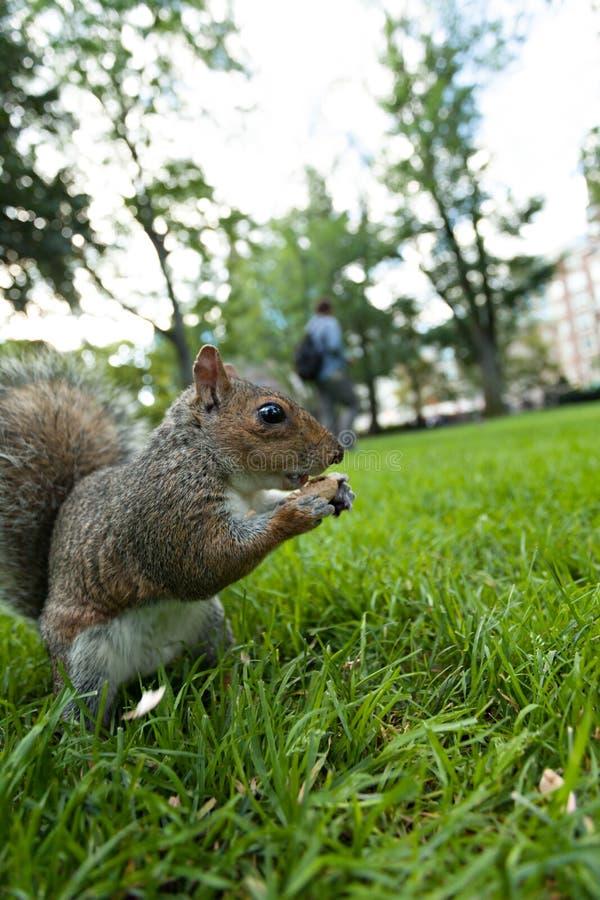 ταΐζοντας σκίουρος καρυδιών χεριών στοκ εικόνα με δικαίωμα ελεύθερης χρήσης
