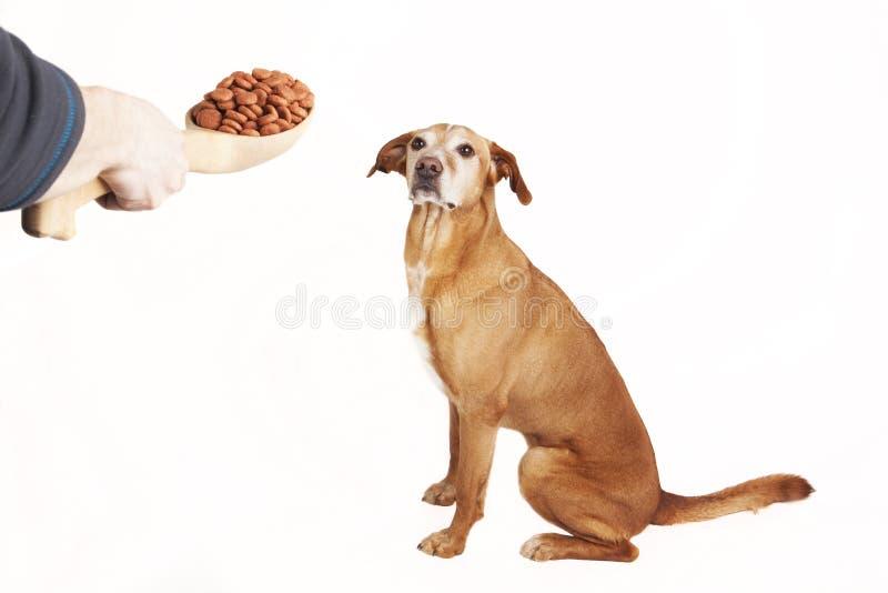 Ταΐζοντας σκυλί με τα ξηρά τρόφιμα από το μεγάλο ξύλινο κουτάλι στοκ φωτογραφία με δικαίωμα ελεύθερης χρήσης