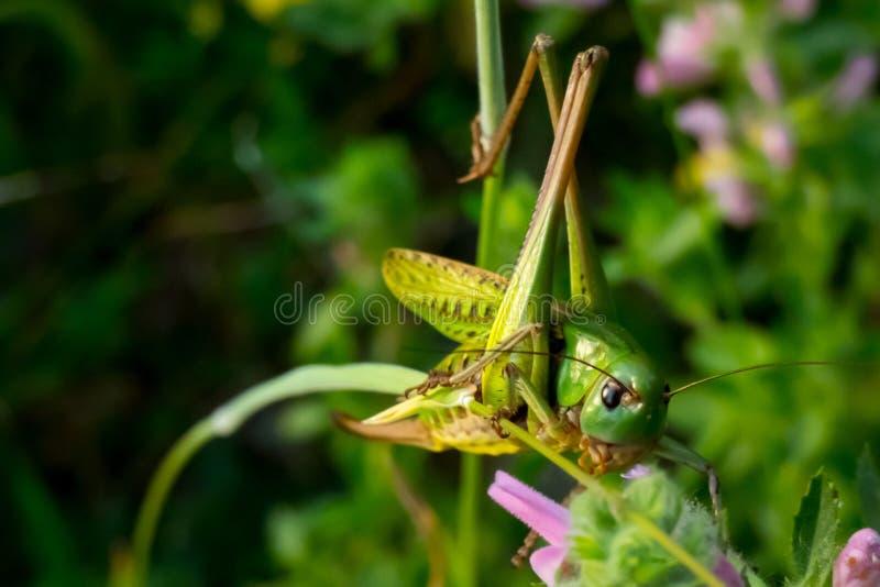 Ταΐζοντας grasshopper στοκ εικόνα