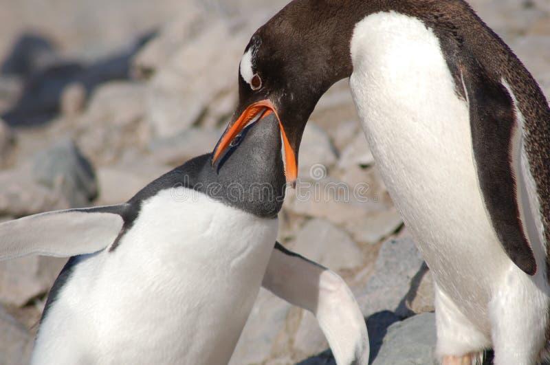 ταΐζοντας penquin νεολαίες στοκ εικόνα