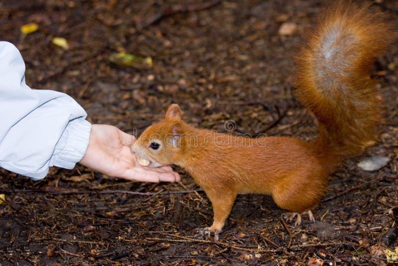 ταΐστε το σκίουρο στοκ φωτογραφίες με δικαίωμα ελεύθερης χρήσης