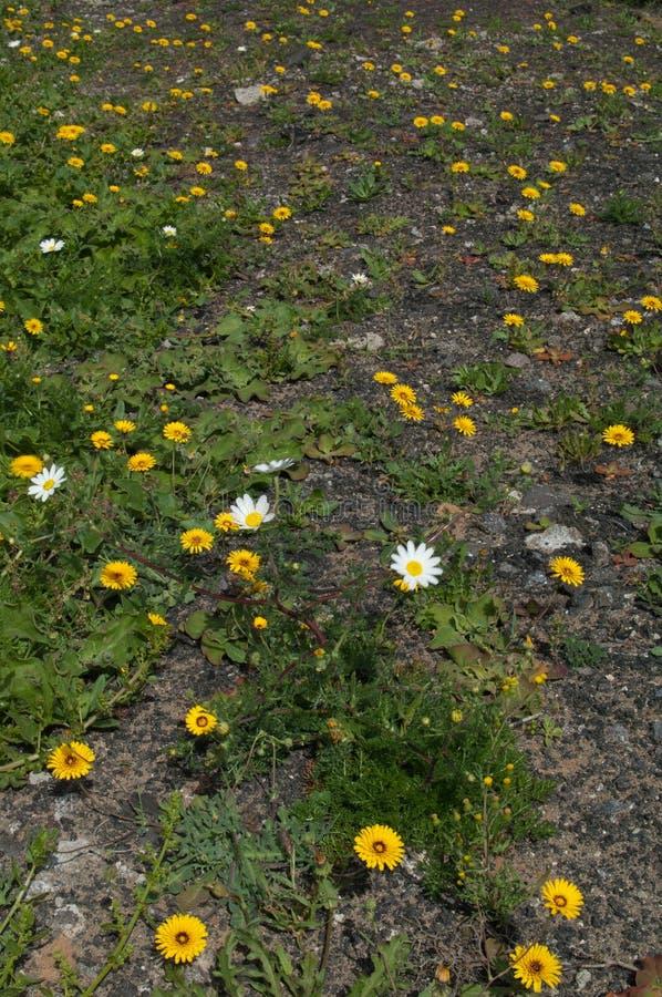 Ταγγέρης reichardie Reichardia άσπρα λουλούδια Argyranthemum λουλουδιών tingitana κίτρινα και μαργαριτών του Παρισιού frutescens στοκ εικόνες