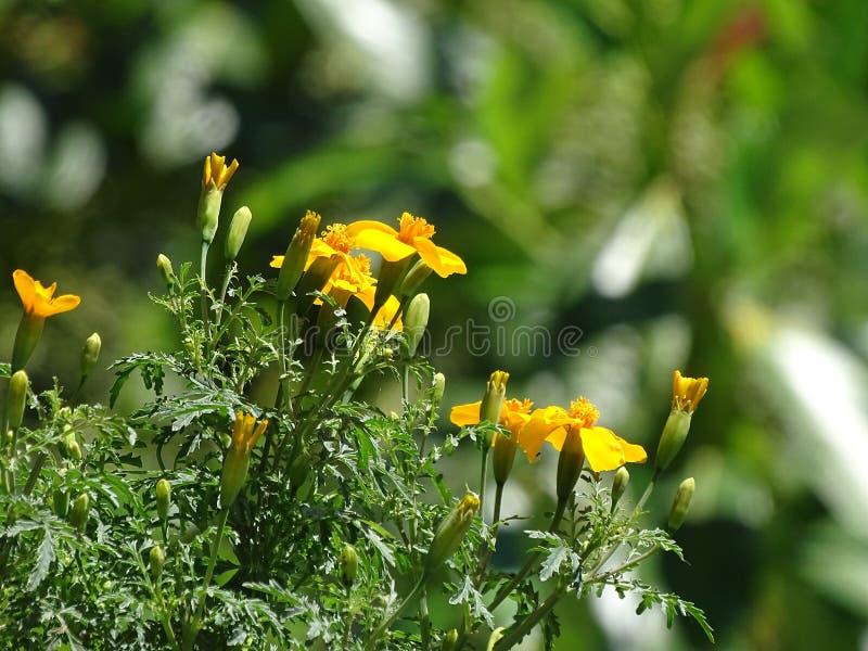 Ταγγέτης tenuifolia Orange Gem που ανθίζει στη λιακάδα στοκ φωτογραφίες