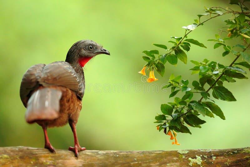 Ταινία-παρακολουθημένο Guan, argyrotis της Πηνελόπη, σπάνιο πουλί από το σκοτεινό δασικό βουνό Santa Marta, Κολομβία Παρατήρηση π στοκ φωτογραφία με δικαίωμα ελεύθερης χρήσης