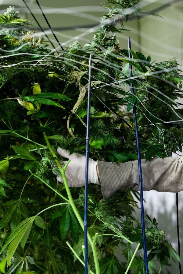 Τακτοποιώντας εγκαταστάσεις μαριχουάνα εργαζομένων στοκ εικόνα