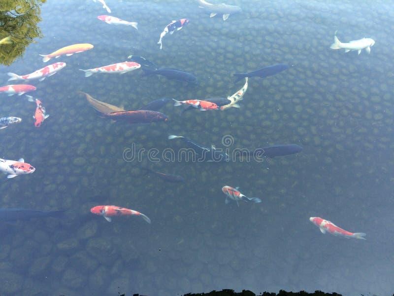Ταξίδι της Ιαπωνίας ψαριών Carf Koi στοκ εικόνα