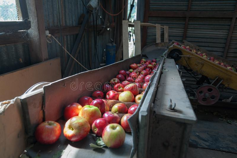 Ταξινομώντας μηχανή της Apple σε ένα υπόστεγο Σκηνή αγροτικών μηχανημάτων στοκ φωτογραφία