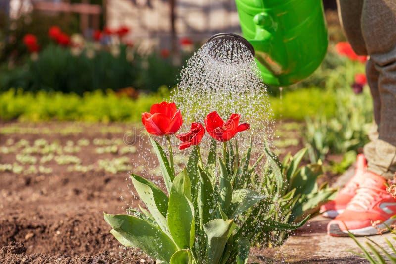 Ταυλίδες Φυτεία Άνθη Καλλιεργητής κηπουρός ψεκασμός νερού στις τουλίπες στοκ εικόνες