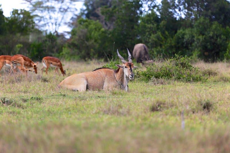 Ταυρότραγος ακρωτηρίων στον ελέφαντα addo στοκ φωτογραφία με δικαίωμα ελεύθερης χρήσης