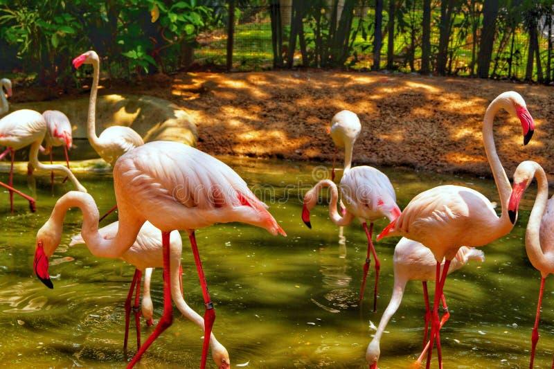 Ταϊλάνδη, Pattaya, ζωολογικός κήπος Khao Kheo, φύση, Ασία, ρόδινα φλαμίγκο στοκ φωτογραφίες