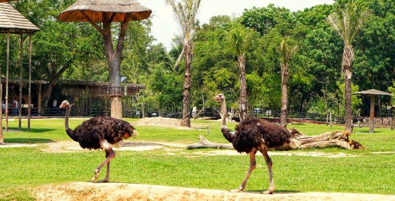 Ταϊλάνδη, Pattaya, ζωολογικός κήπος Khao Kheo, φύση, Ασία, στρουθοκάμηλοι στοκ φωτογραφία