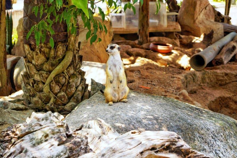 Ταϊλάνδη, Pattaya, ζωολογικός κήπος Khao Kheo, φύση, Ασία, meerkat στοκ εικόνα