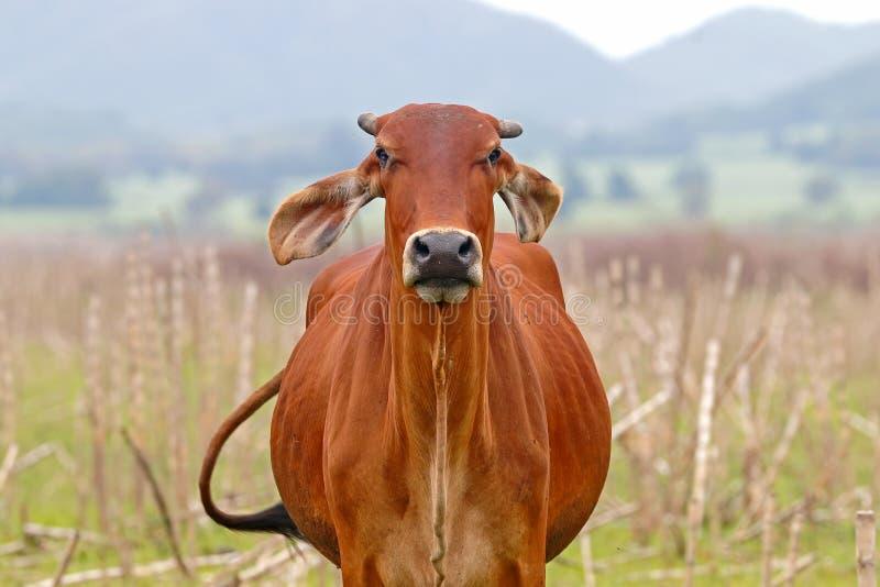 Ταϊλανδική αγελάδα στον τομέα στοκ φωτογραφίες