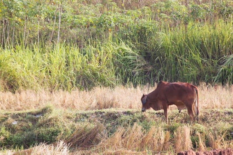 Ταϊλανδική αγελάδα, ταϊλανδική φυλή, που στέκεται στον τομέα στοκ εικόνες