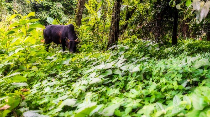 Ταϊλανδική βοσκή αγελάδων στον τομέα τροπικών δασών στοκ εικόνες