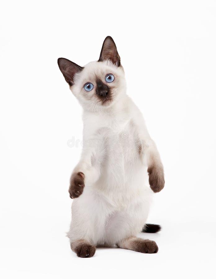 Ταϊλανδική γάτα στην άσπρη ανασκόπηση στοκ εικόνα