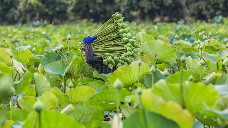 Ταϊλανδικός αγρότης λωτού που συλλέγει το λωτό στην αγροτική φυτεία λωτού στο μ στοκ φωτογραφία με δικαίωμα ελεύθερης χρήσης