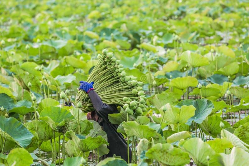 Ταϊλανδικός αγρότης λωτού που συλλέγει το λωτό στην αγροτική φυτεία λωτού στο μ στοκ εικόνες με δικαίωμα ελεύθερης χρήσης