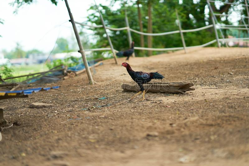 Ταϊλανδικός περίπατος κοκκόρων στο αγρόκτημα στοκ φωτογραφίες