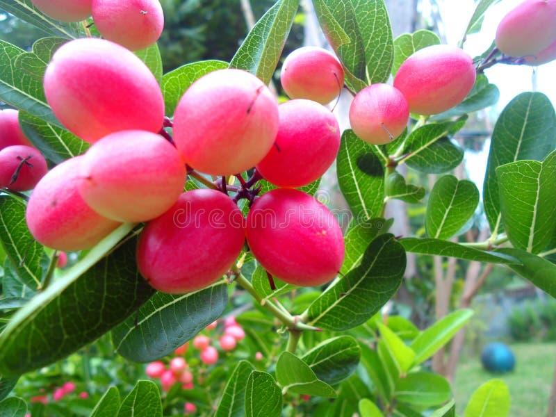 Ταϊλανδικά κόκκινα ξινά φρούτα στοκ εικόνες