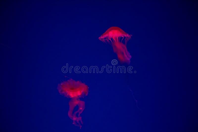 Ταϊλανδικά nettle θάλασσας (Chrysaora fuscescens) ψάρια ζελατίνας στην Ταϊλάνδη στοκ εικόνες