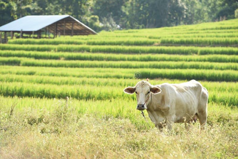 Ταϊλανδική αγελάδα στον τομέα ρυζιού στοκ φωτογραφία με δικαίωμα ελεύθερης χρήσης