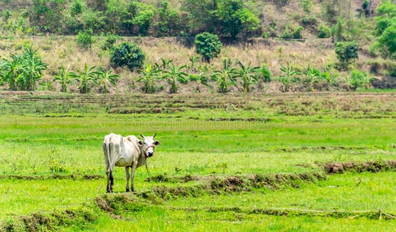 Ταϊλανδική αγελάδα στον τομέα στοκ εικόνα