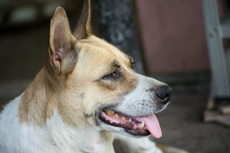 Ταϊλανδική γλώσσα σκυλιών έξω στοκ εικόνες