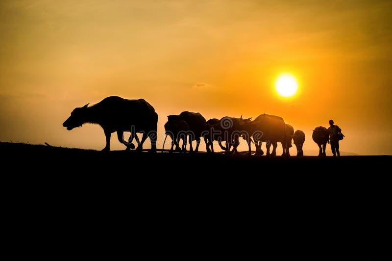 Ταϊλανδική σκιαγραφία Buffalo με το φως του ήλιου στοκ εικόνα με δικαίωμα ελεύθερης χρήσης