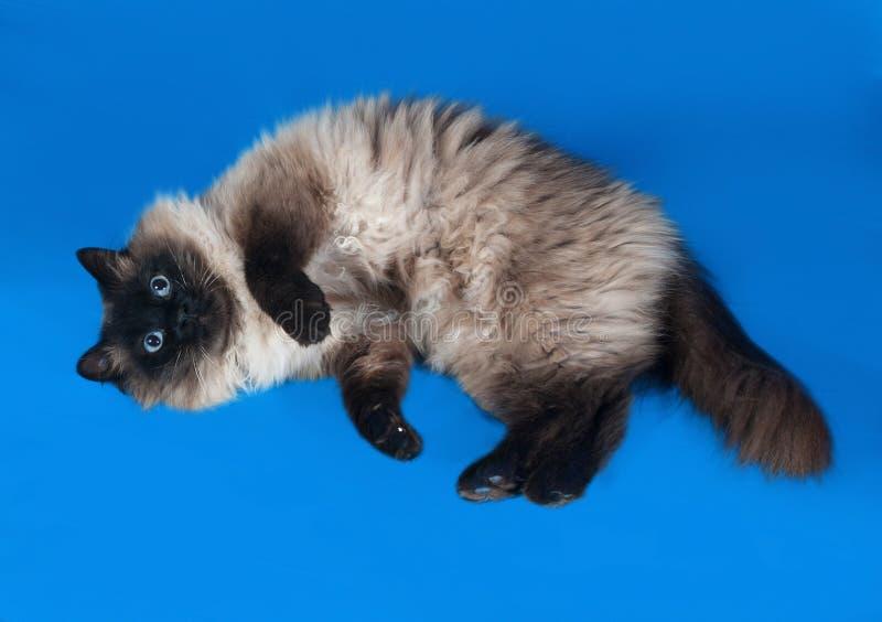 Ταϊλανδική χνουδωτή γάτα με τα μπλε μάτια που βρίσκονται στο μπλε στοκ φωτογραφία