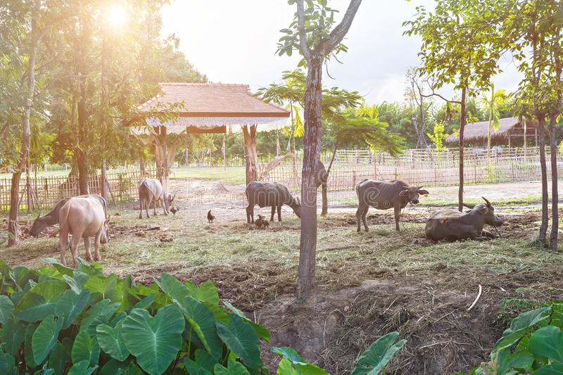 Ταϊλανδικοί βούβαλοι νερού στοκ εικόνες