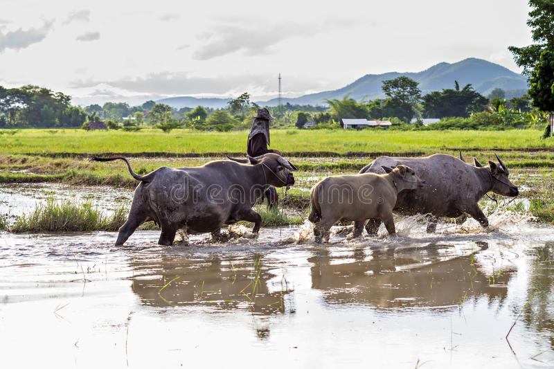 Ταϊλανδικοί βούβαλοι νερού στοκ φωτογραφίες με δικαίωμα ελεύθερης χρήσης