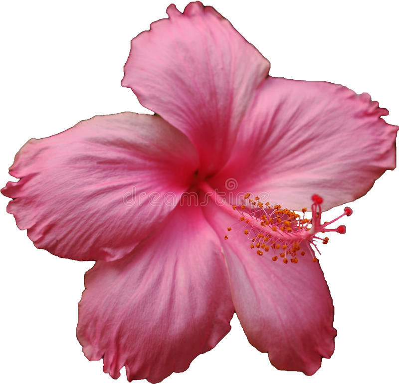 Ταϊλανδικό ρόδινο λουλούδι Hibicus στοκ φωτογραφία με δικαίωμα ελεύθερης χρήσης
