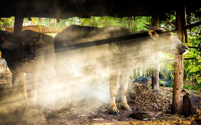 Ταϊλανδικό Buffalo στο κλουβί στοκ εικόνα