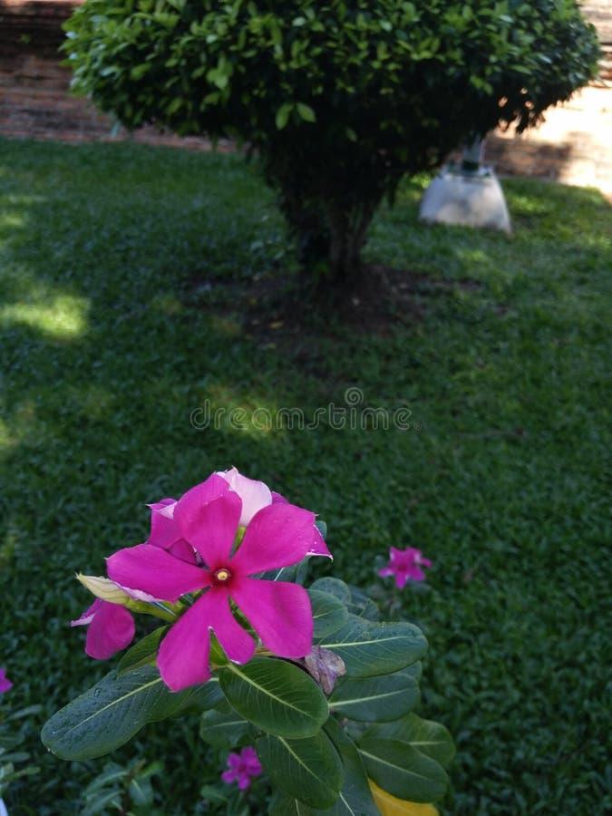 Ταϊλανδικό Flover στοκ φωτογραφία