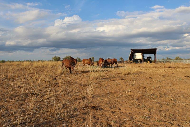Ταύροι Brahman στον ορίζοντα στοκ φωτογραφίες
