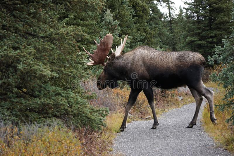 Ταύρος αλκών στο τοπίο φθινοπώρου στην Αλάσκα στοκ εικόνα με δικαίωμα ελεύθερης χρήσης