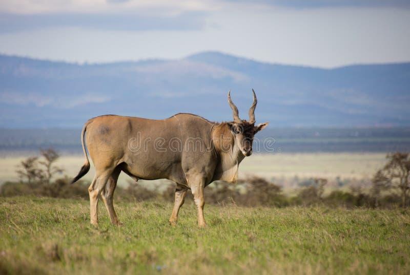 Ταύρος ταυροτραγών με την πράσινη χλόη και το φυσικό υπόβαθρο στοκ φωτογραφίες