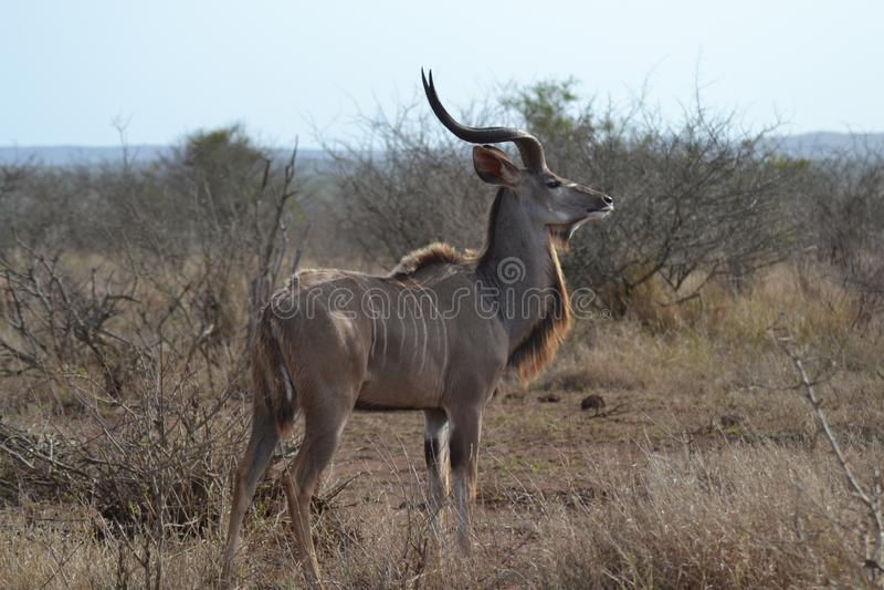Ταύρος Kudu στοκ εικόνες