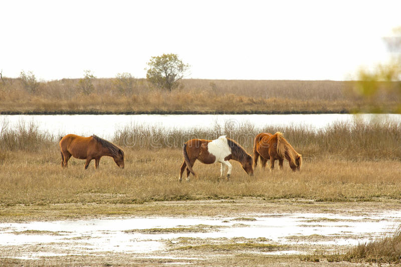 Τα άγρια άλογα βόσκουν τις χλόες έλους στο νησί Assateague, Μέρυλαντ στοκ φωτογραφία με δικαίωμα ελεύθερης χρήσης