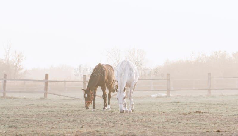 τα άλογα βόσκουν δύο στοκ φωτογραφία