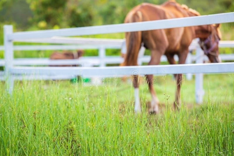 Τα άλογα θαμπάδων στο υπόβαθρο και οι χλόες με το πρωί δροσίζουν στο πρώτο πλάνο, πράσινο λιβάδι για τα άλογα με έναν σταύλο στοκ φωτογραφία με δικαίωμα ελεύθερης χρήσης