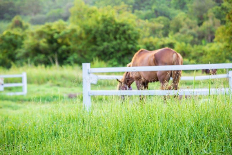 Τα άλογα θαμπάδων στο υπόβαθρο και οι χλόες με το πρωί δροσίζουν στο πρώτο πλάνο, πράσινο λιβάδι για τα άλογα με έναν σταύλο στοκ εικόνα